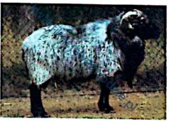 r3_owca