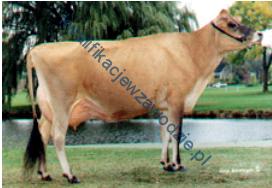 r19_krowa