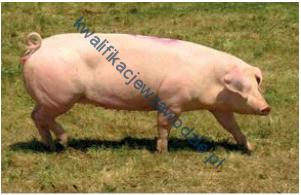 r19_swinia